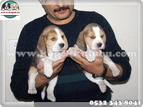 beagle fiyat