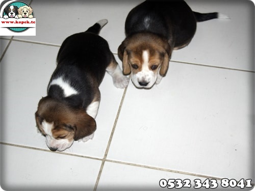 beagle yavru köpek