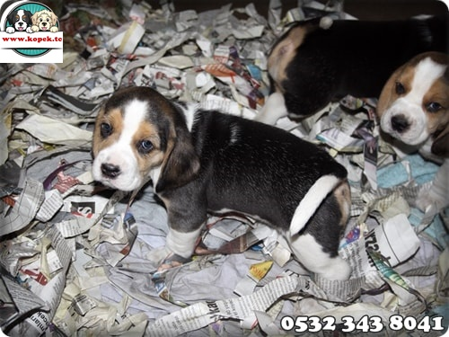 beagle köpek yavru