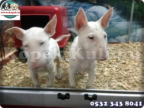 bull terrier yavru fiyat