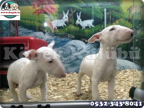 Bull Terrier Yavrusu