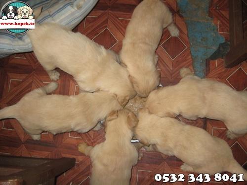 golden retriever yavruları
