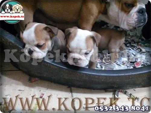ingiliz bulldog fiyatları