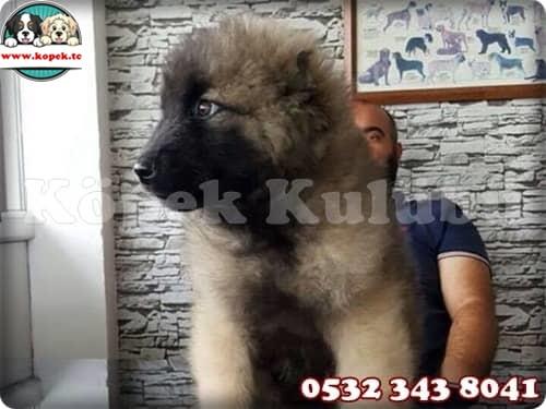 kafkas çoban köpeği yavrusu