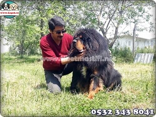 tibet mastifi fiyat