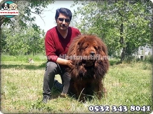 satılık tibet mastifi fiyatları