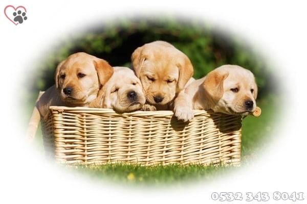 yavru köpek ilanları