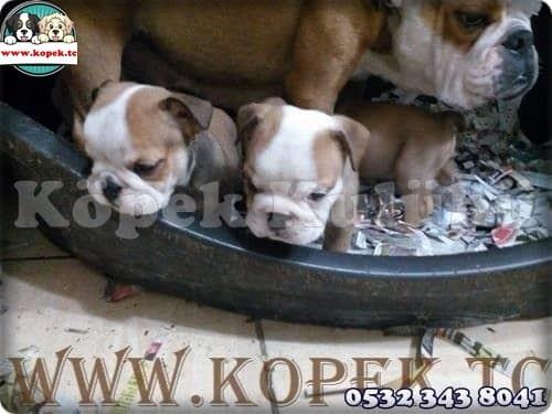 yavru köpek üretim çiftliği