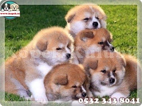 yavru köpek üretim
