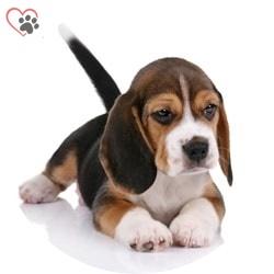 beagle yavru